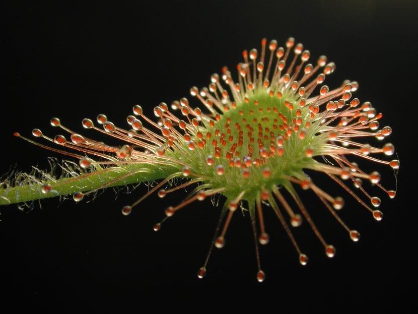 Hoja de Drosera rotundifolia