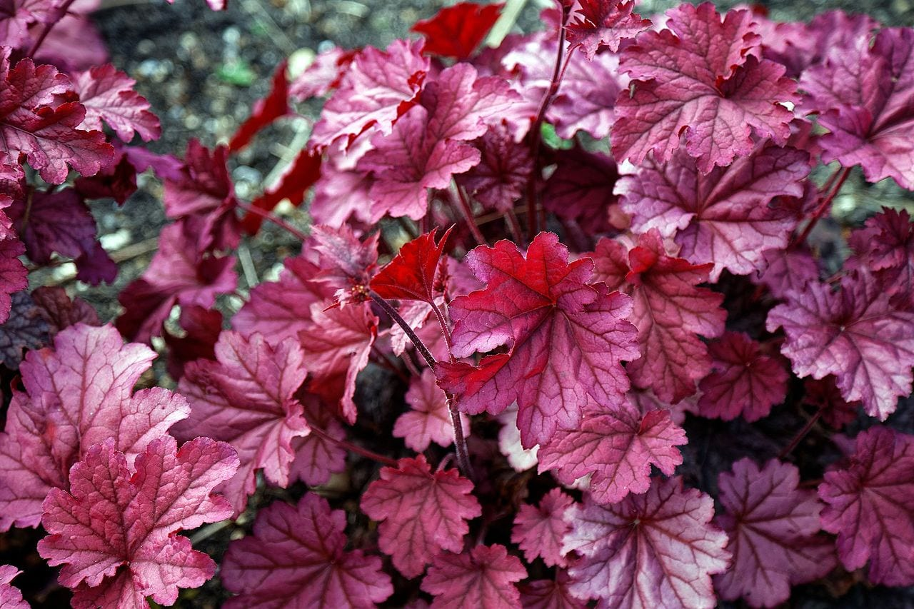 Ejemplar de Heuchera 'Berry Smoothie''
