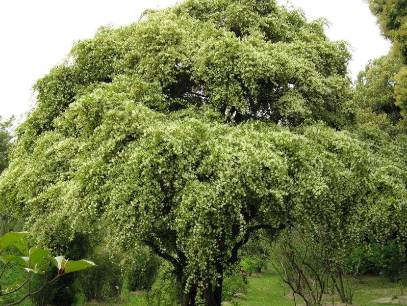 Árbol de Loropetalum chinense