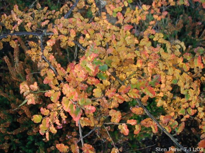 Nothofagus antarctica en otoño