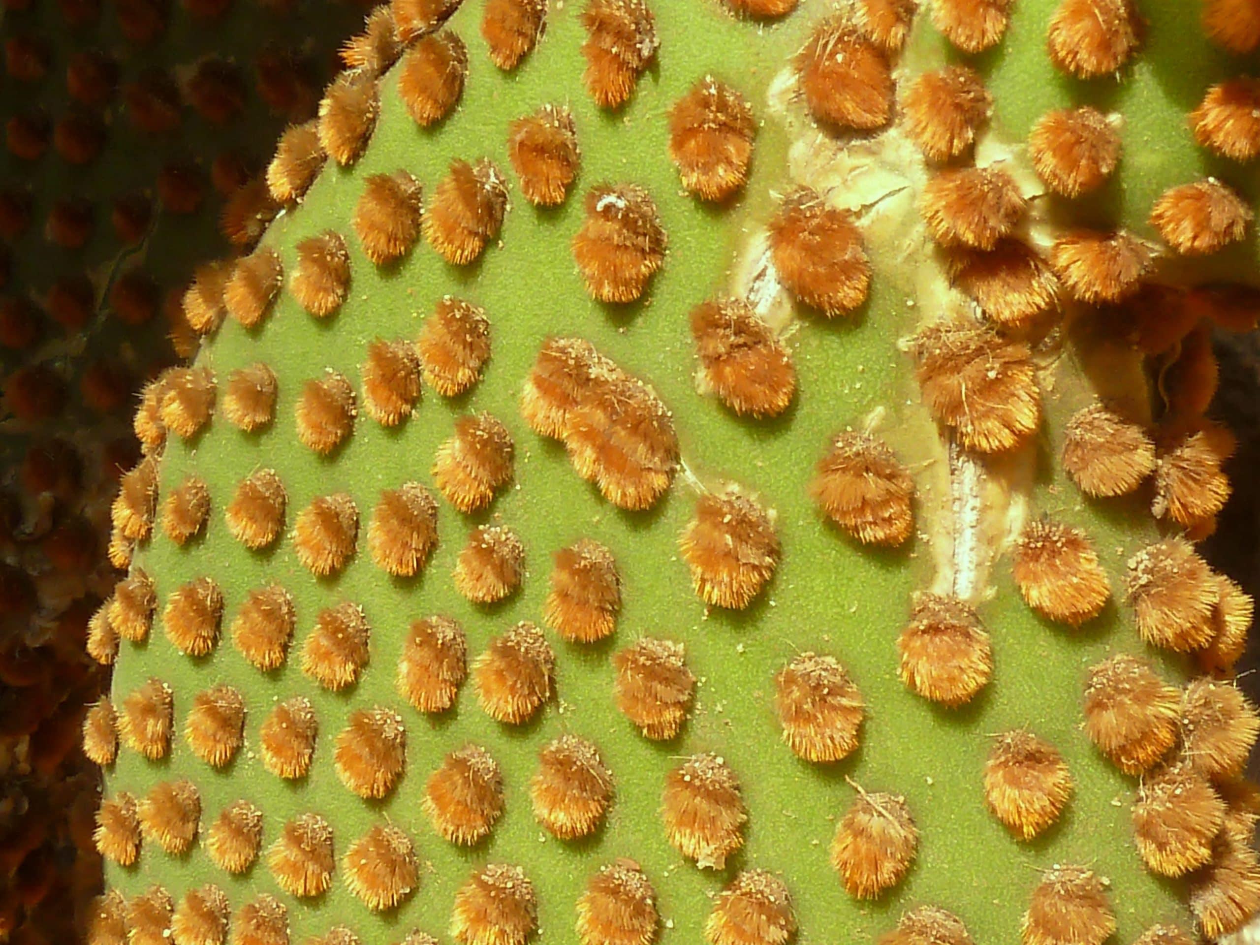 Opuntia microdasys subsp rufida, detalle de la pala