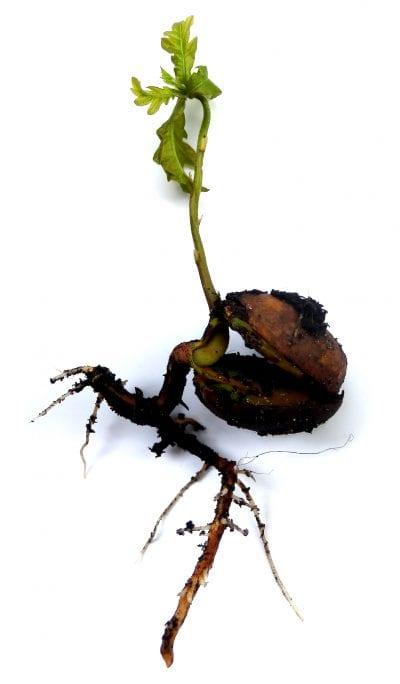 Plántula del roble o Quercus robur
