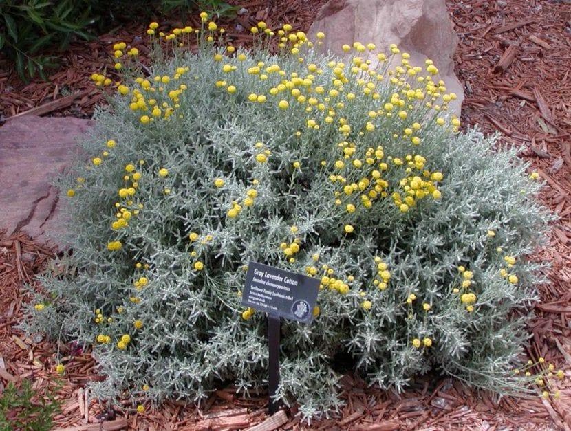 Ejemplar de Santolina chamaecyparissus