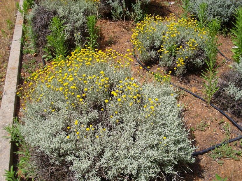 Santolina chamaecyparissus en un jardín