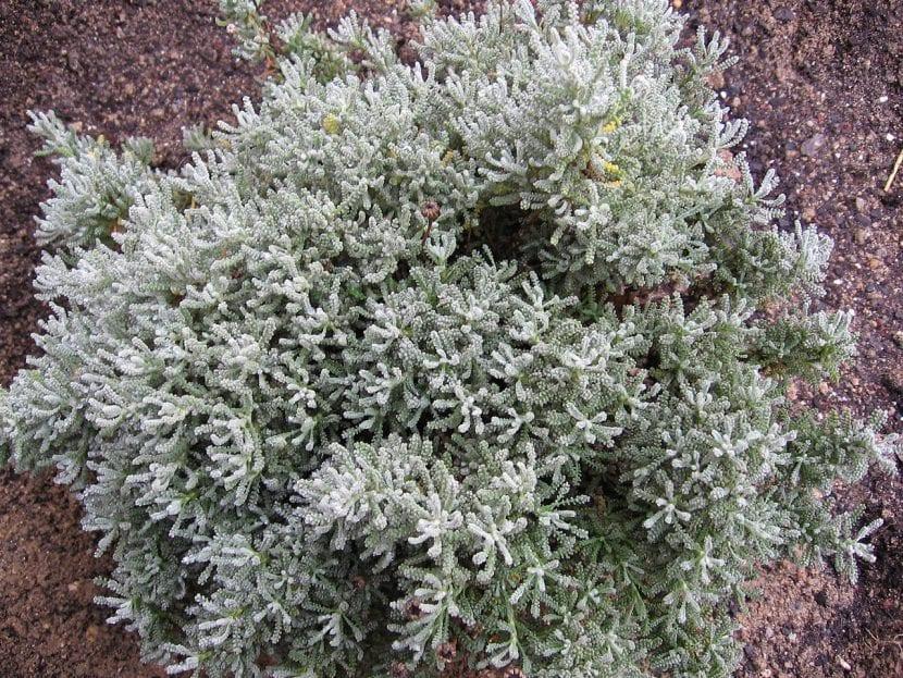 Planta joven de Santolina chamaecyparissus