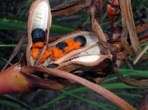 Las semillas de la strelitzia reginae son duras