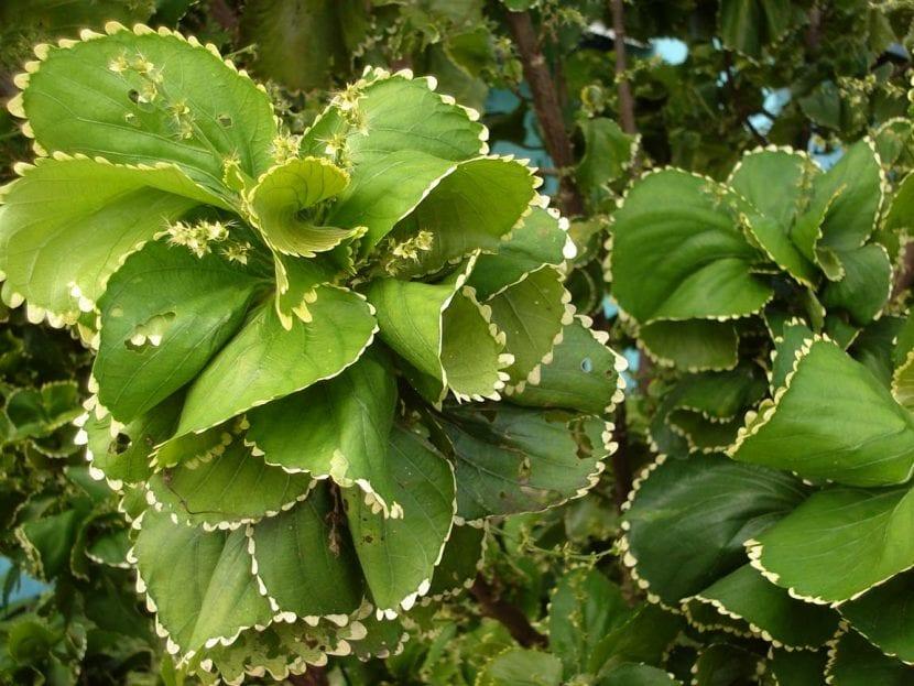 las hojas de las acalifas
