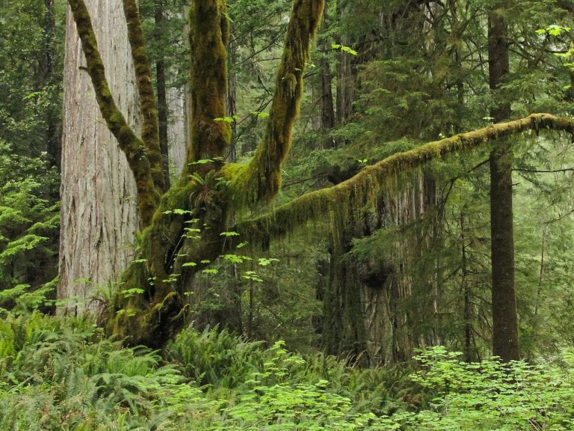 Acer de hoja grande en hábitat