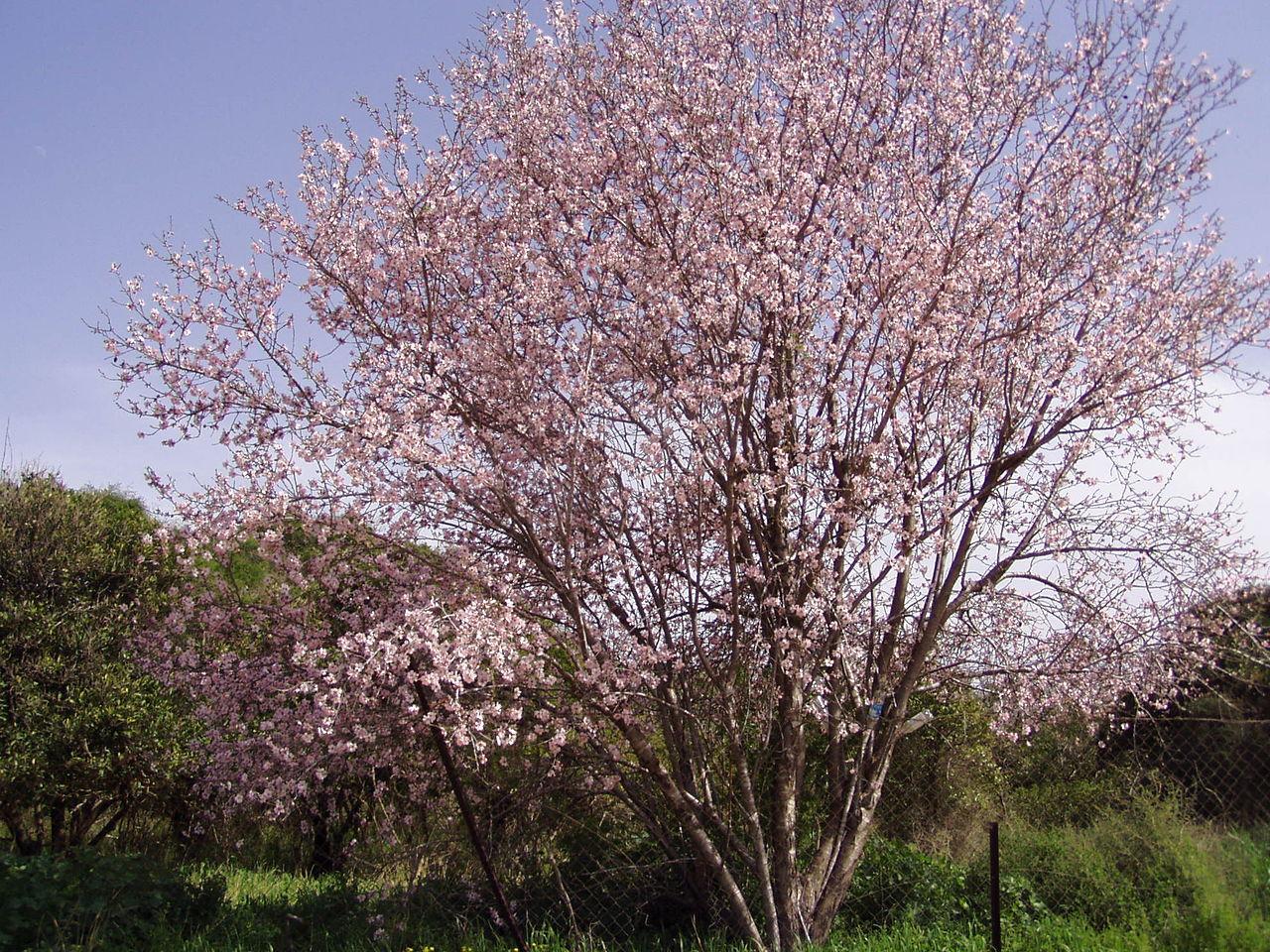 El almendro es un frutal de hoja caduca