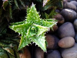 Ejemplar de Aloe juvenna