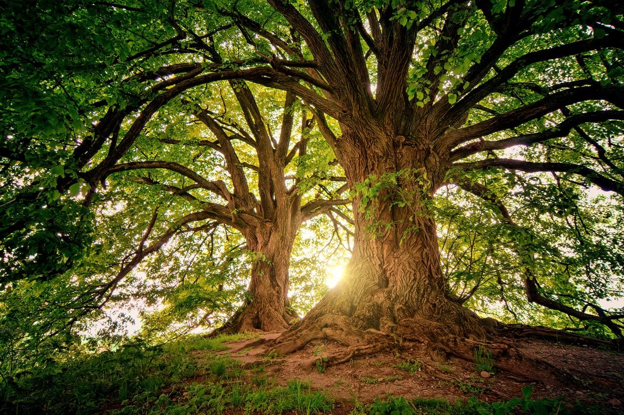 Los árboles son plantas leñosas y altas