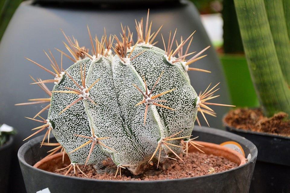 C mo cuidar un cactus de interior for Cactus para interior