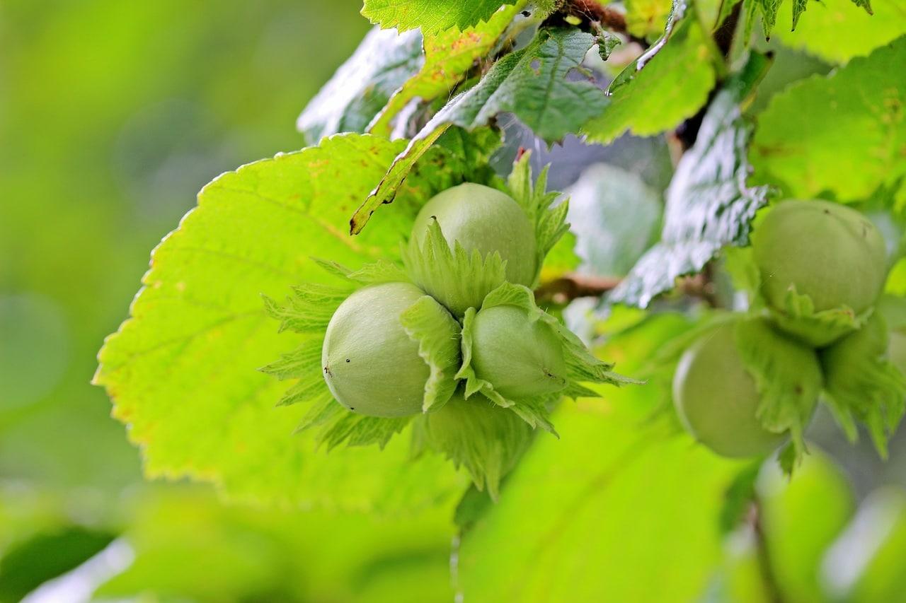 Los frutos del avellano se siembran en otoño