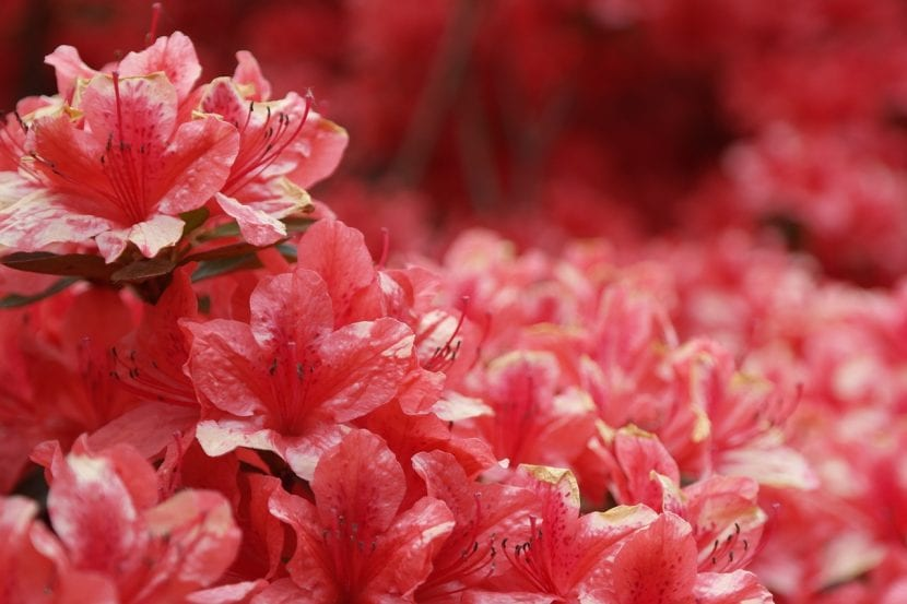 Azalea de flores rojas