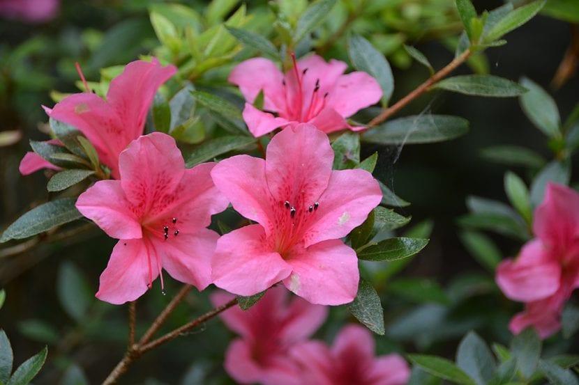 Planta de azalea en flor