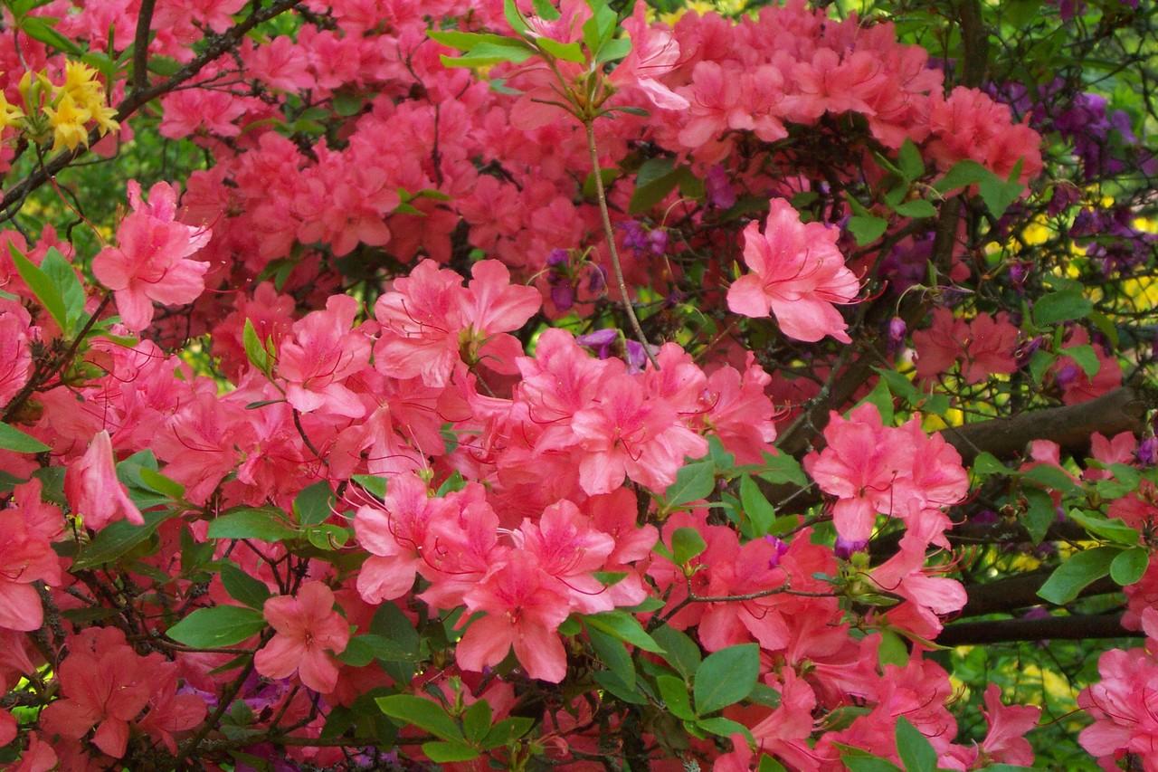 Las azaleas son arbustos perennifolios