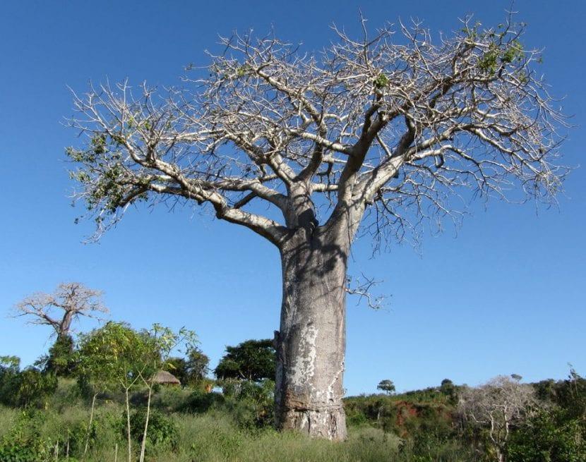 Ejemplar adulto de Baobab