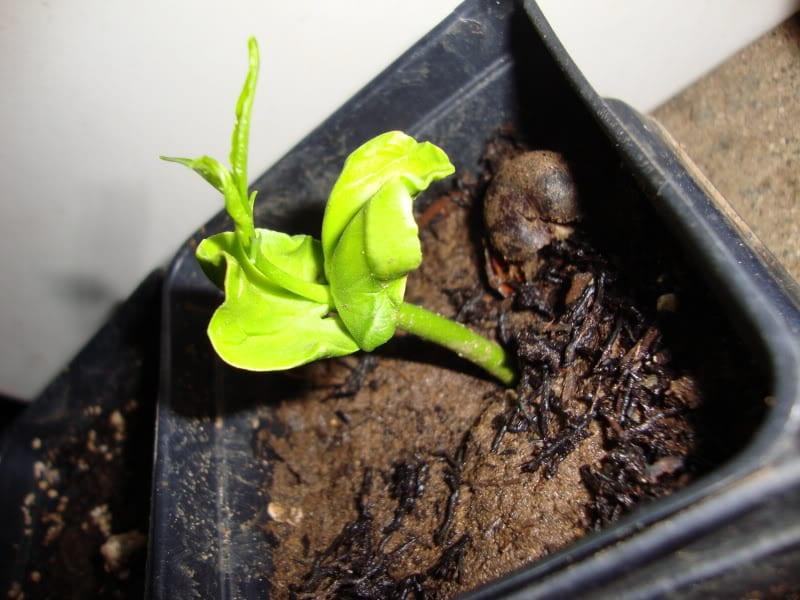 Plántula joven de baobab