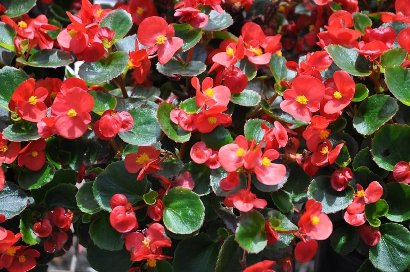 las begonias crecen en muchos lugares