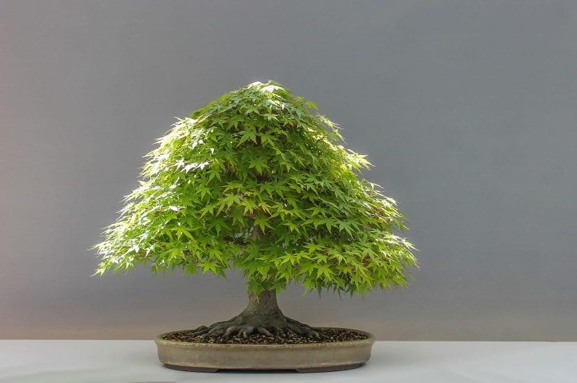 Precioso bonsái de arce