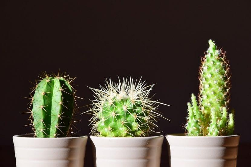 Tres cactus en interior
