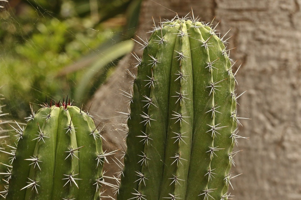 Los cactus pueden tener varias plagas