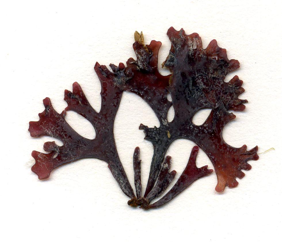 Vista del alga Chondrus crispus