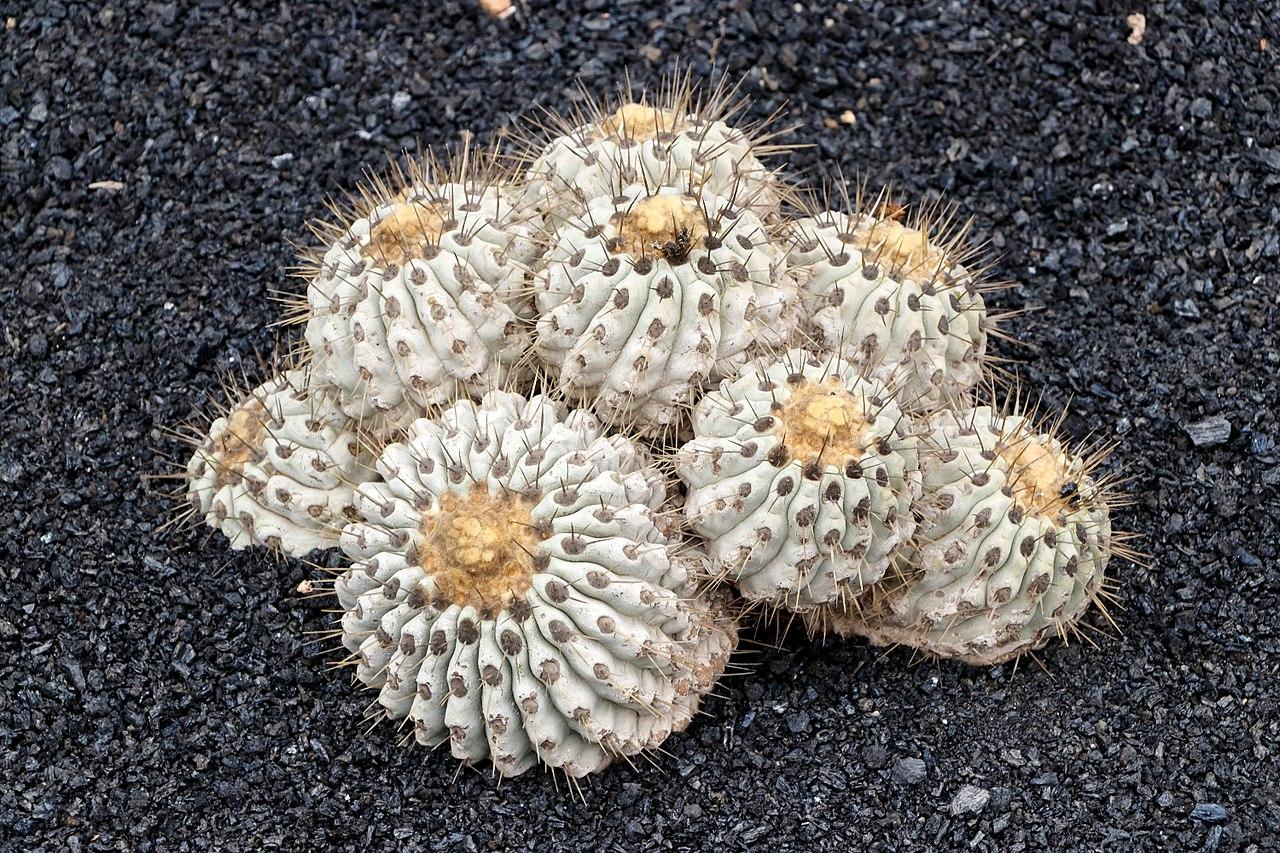 La Copiapoa cinerea es un cactus