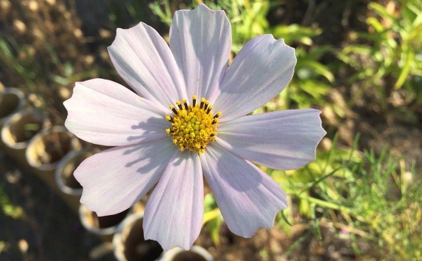 Flor blanca del Cosmos
