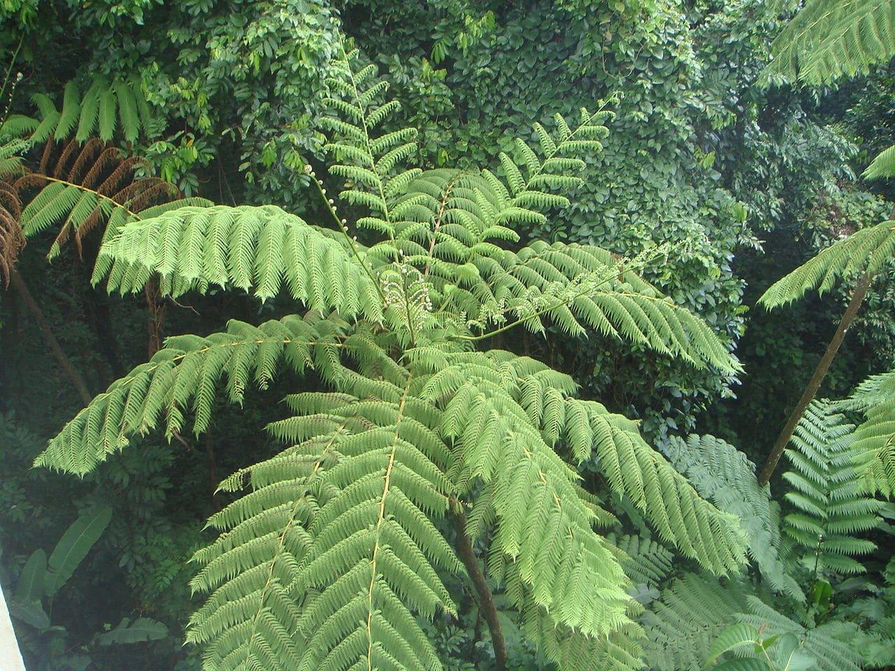 La Cyathea arborea es un tipo de helecho arborescente