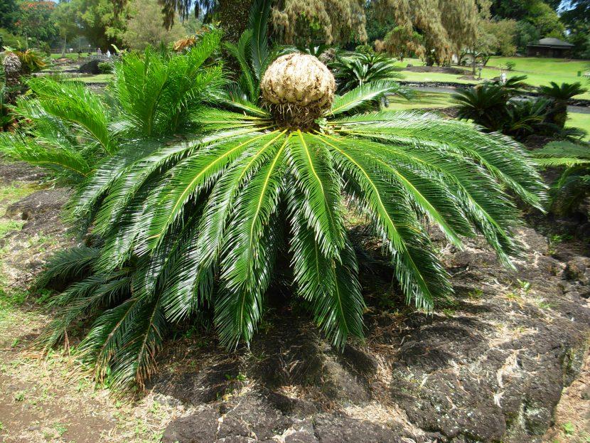 La Cycas revoluta es una especie de arbusto falso