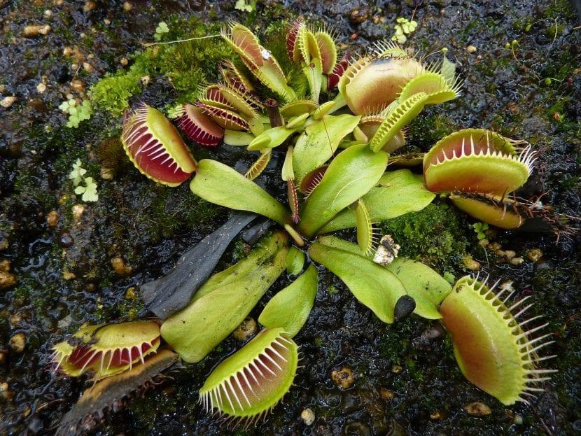 Planta carnívora Dionaea muscipula
