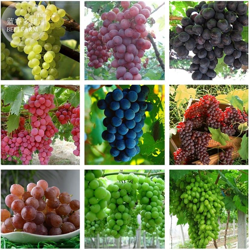 variedades de vid en España