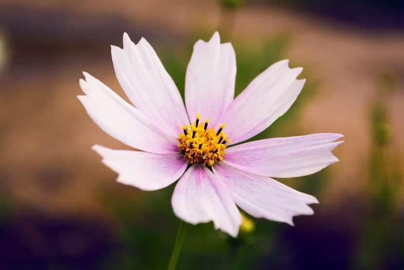Flor rosada de cosmos