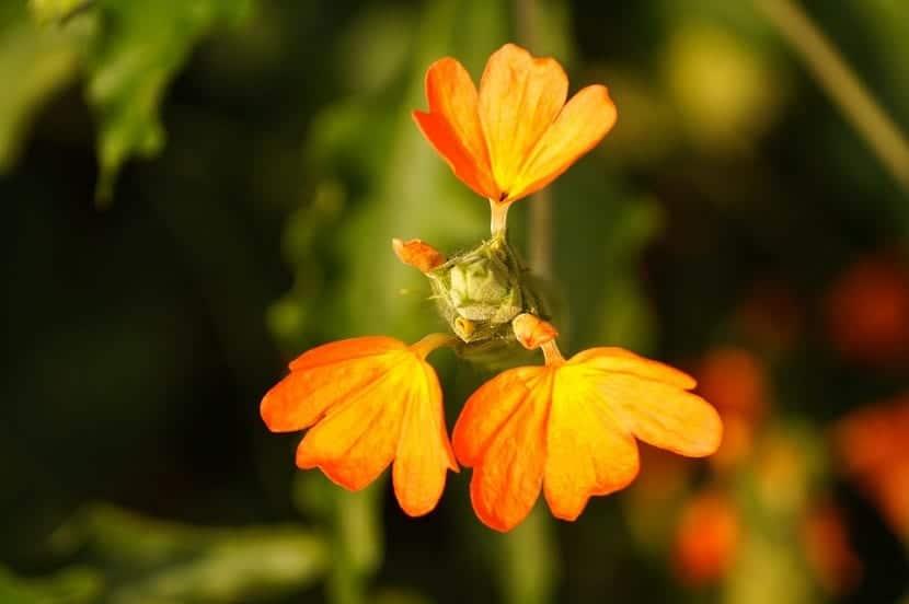 Las hojas de la Crossandra suelen ser bastante decorativas