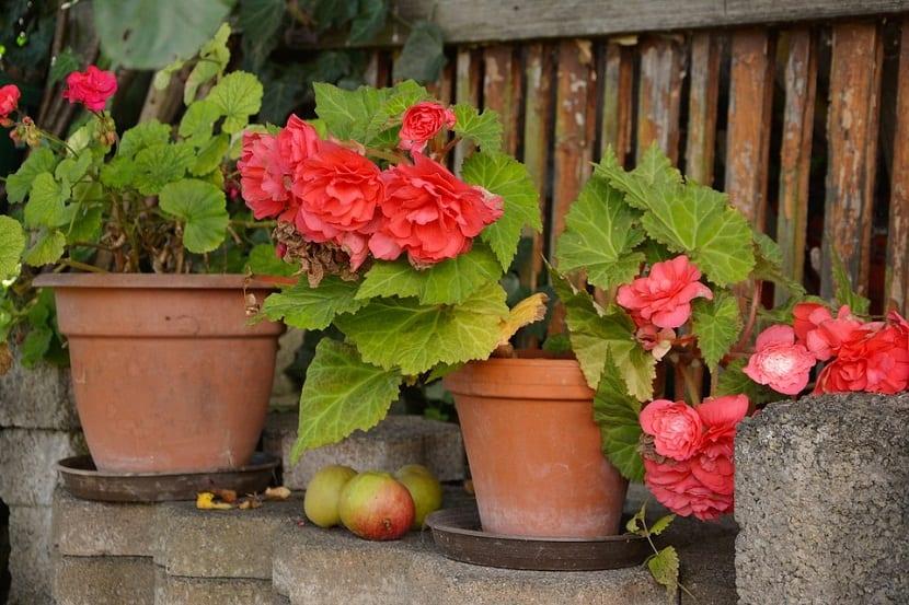 variedades de las Begonias