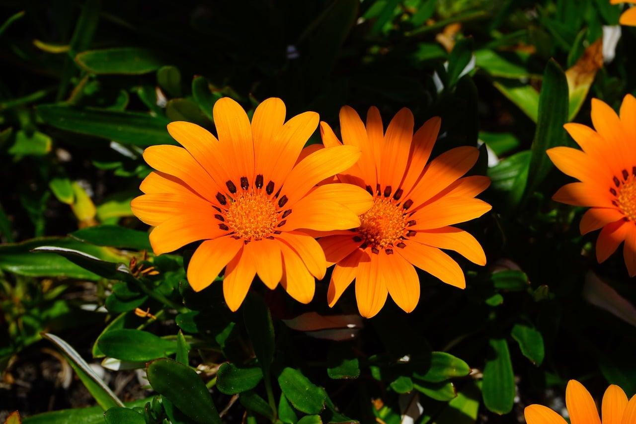 La gazania es un tipo de planta vivaz