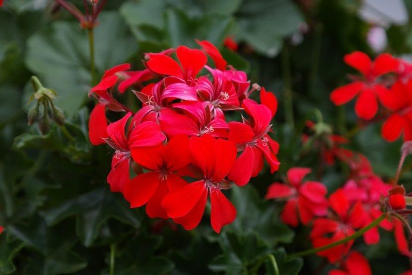 Geranio de flor roja