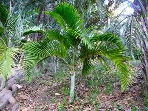 Hedyscepe canterburyana en hábitat