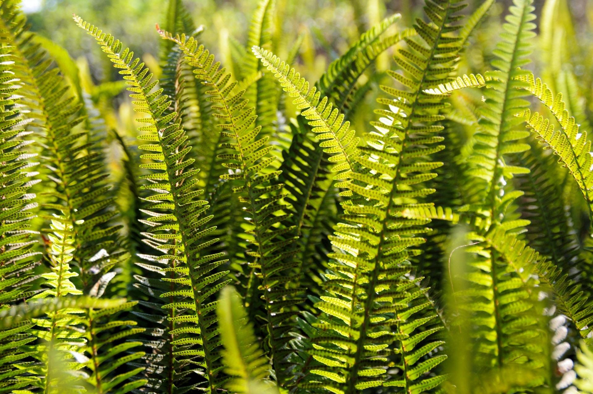 El helecho es una planta perenne