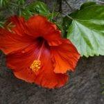 Planta de hibiscus con flor