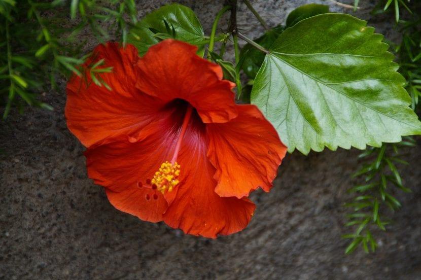 C mo cuidar hibiscus en invierno for Hibiscus arbol