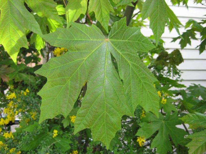 Hoja del Acer macrophyllum