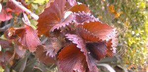 hojas acalifa
