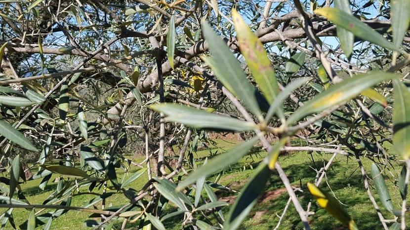 nutrientes de olivos para su crecimiento