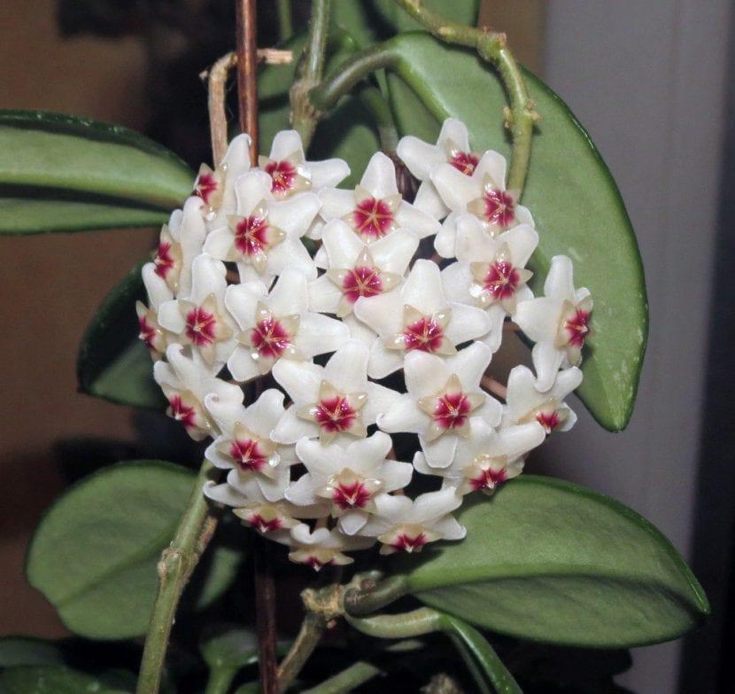 Hoya carnosa en flor