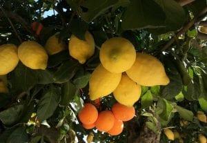 injerto de limonero