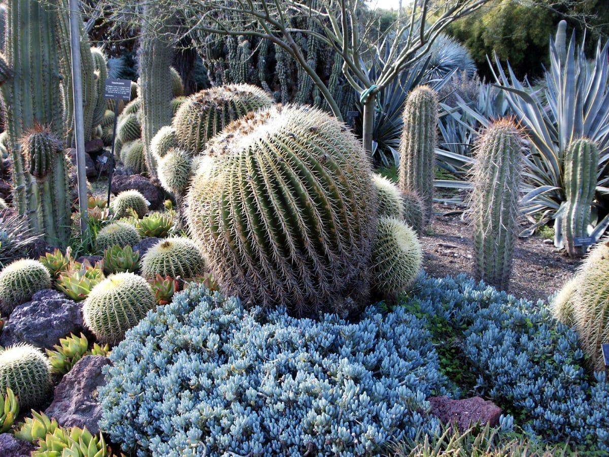 Estas suculentas son plantas xerófitas