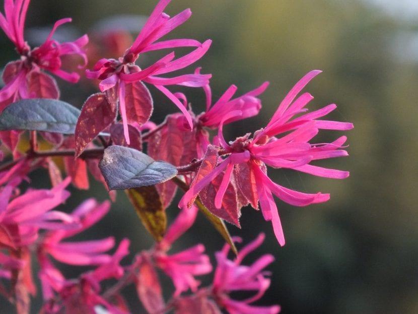 Flores del Loropetalum chinense var rubrum