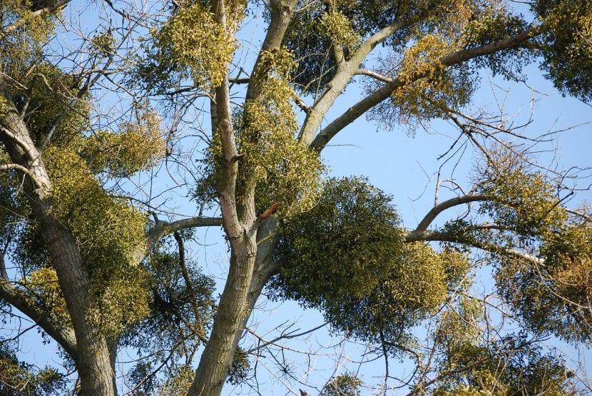 Muérdago en un árbol